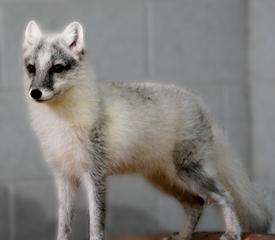 Racine Zoo welcomes two Arctic foxes