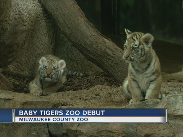 milwaukee zoo u0026 39 s new tiger cubs now on display
