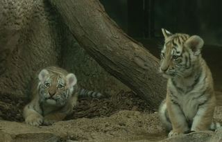 Milwaukee Zoo's new tiger cubs now on display
