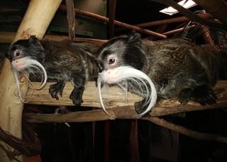 Racine Zoo's emperor tamarin twins need names