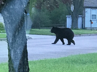 Large black bear spotted in Wisconsin Rapids