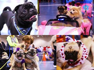 GALLERY: 13th annual Milwaukee Pug Fest