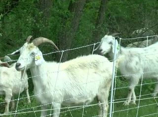 WI school adds goats to environmental curriculum