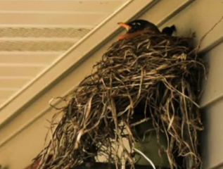 Protective bird blocks family's mail delivery