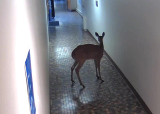 Deer gets loose inside Concordia University