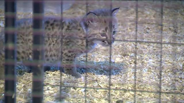 Delavan police release security video of lynx theft from petting zoo