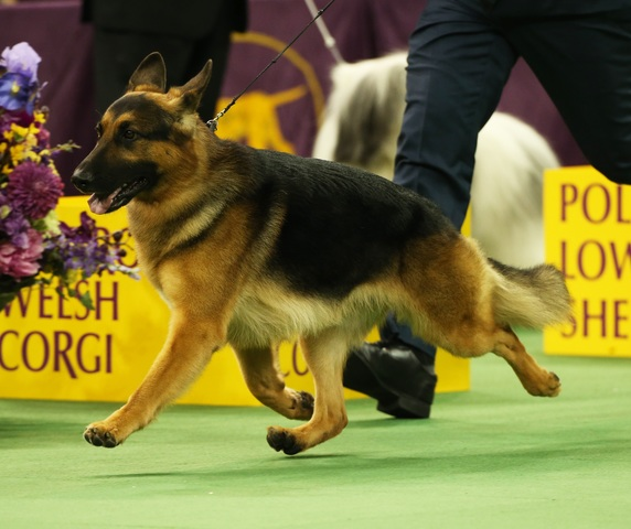 Westminster Dog Show  Tv Rumor