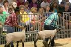 Vincent HS students show sheep for first time