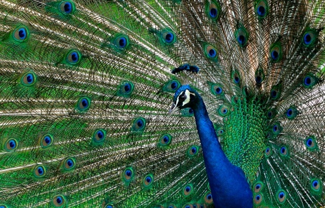 Can a peacock fly? Not on United Airlines