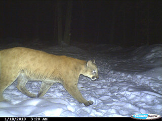 Cougar spotted by Brookfield resident