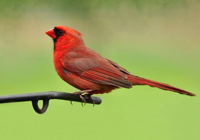 Yellow cardinal spotted in Alabama considered 1 in a million