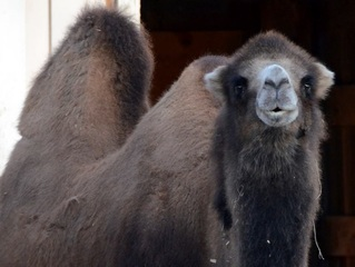 Madison Zoo's 25-year-old camel dies