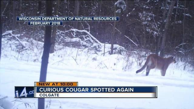 cougars in milwaukee