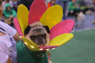 Cutest costumes from Milwaukee Pug Fest 2018