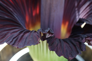 Rare corpse flower comes blooms in MKE [PHOTOS]