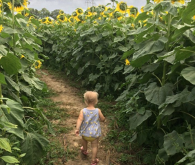 Leatherberry Acres Sunflower Maze [PHOTOS]